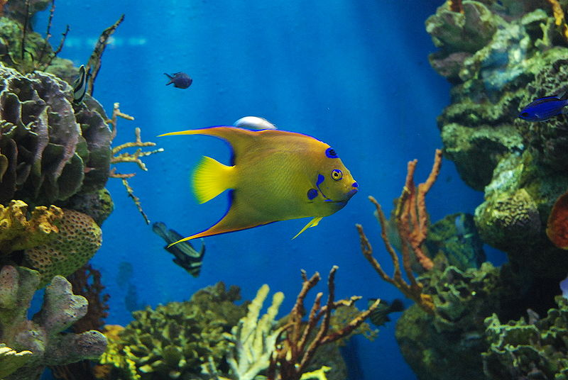 Original Angelfish wallpaper