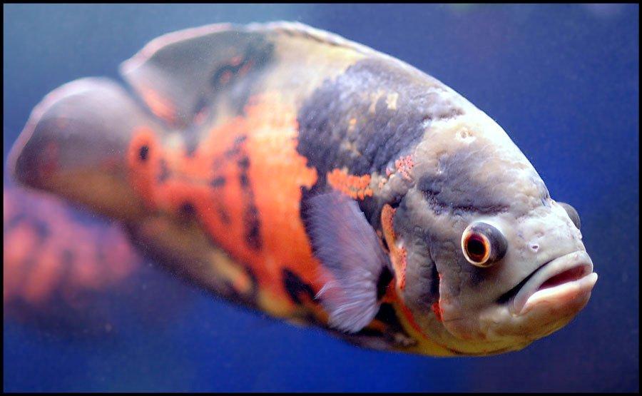 Oscar Fish wallpaper