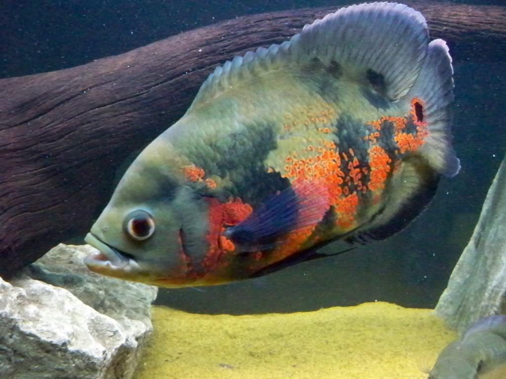 Oscar fish swims wallpaper