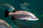 Other Barramundi