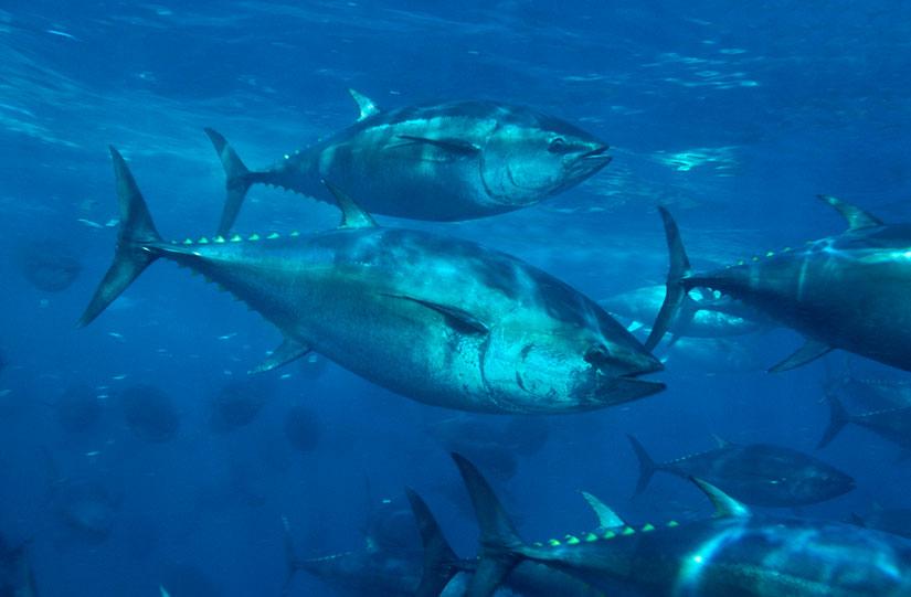 Pacific Bluefin Tuna wallpaper