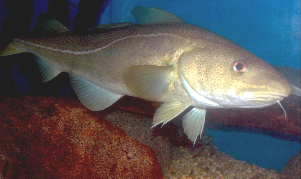 Pacific cod in ocean wallpaper
