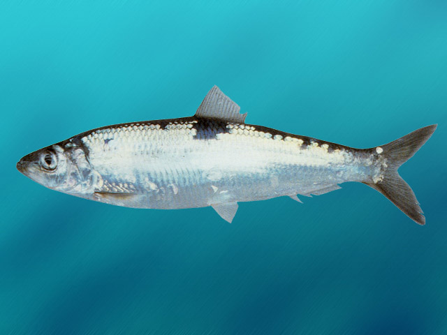 Pacific herring photo and wallpaper. Cute Pacific herring ...