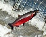 Pacific salmon in jumps
