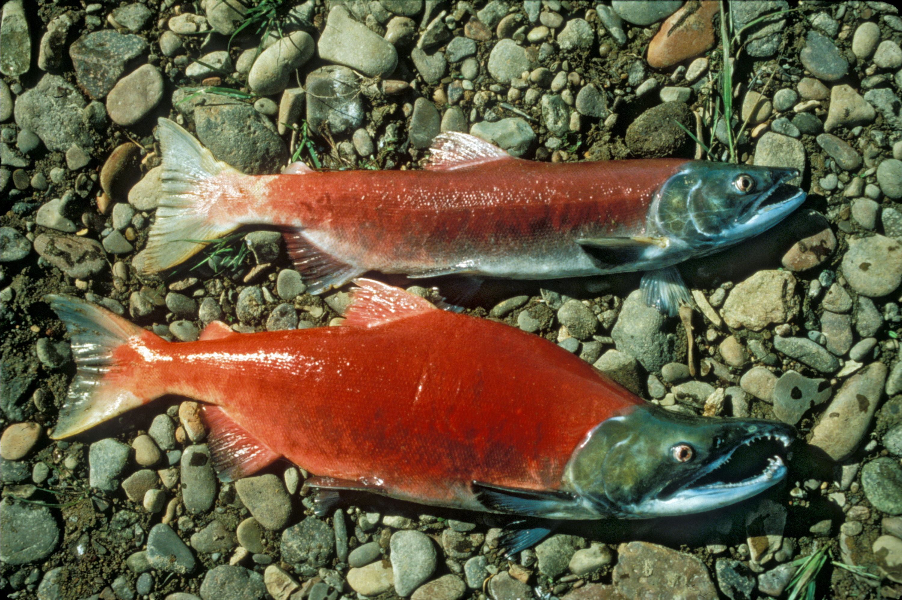 Pacific salmon wallpaper