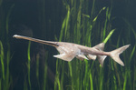 Paddlefish in the grass