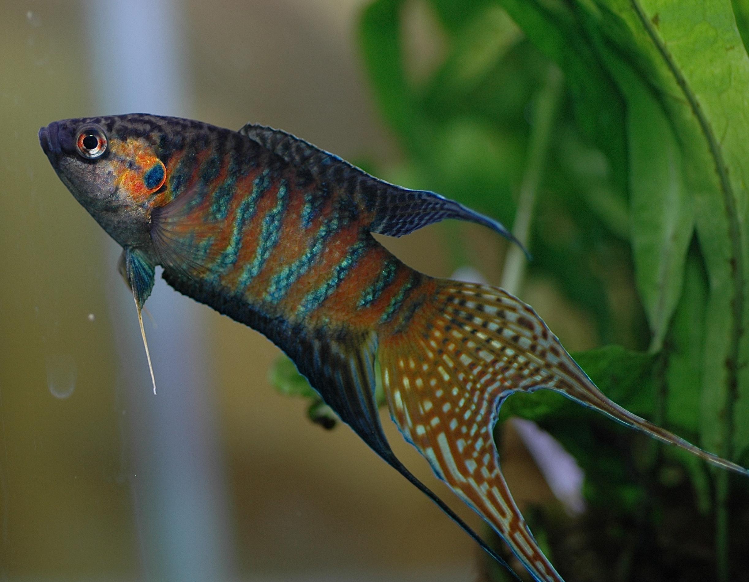 Paradise fish underwater wallpaper