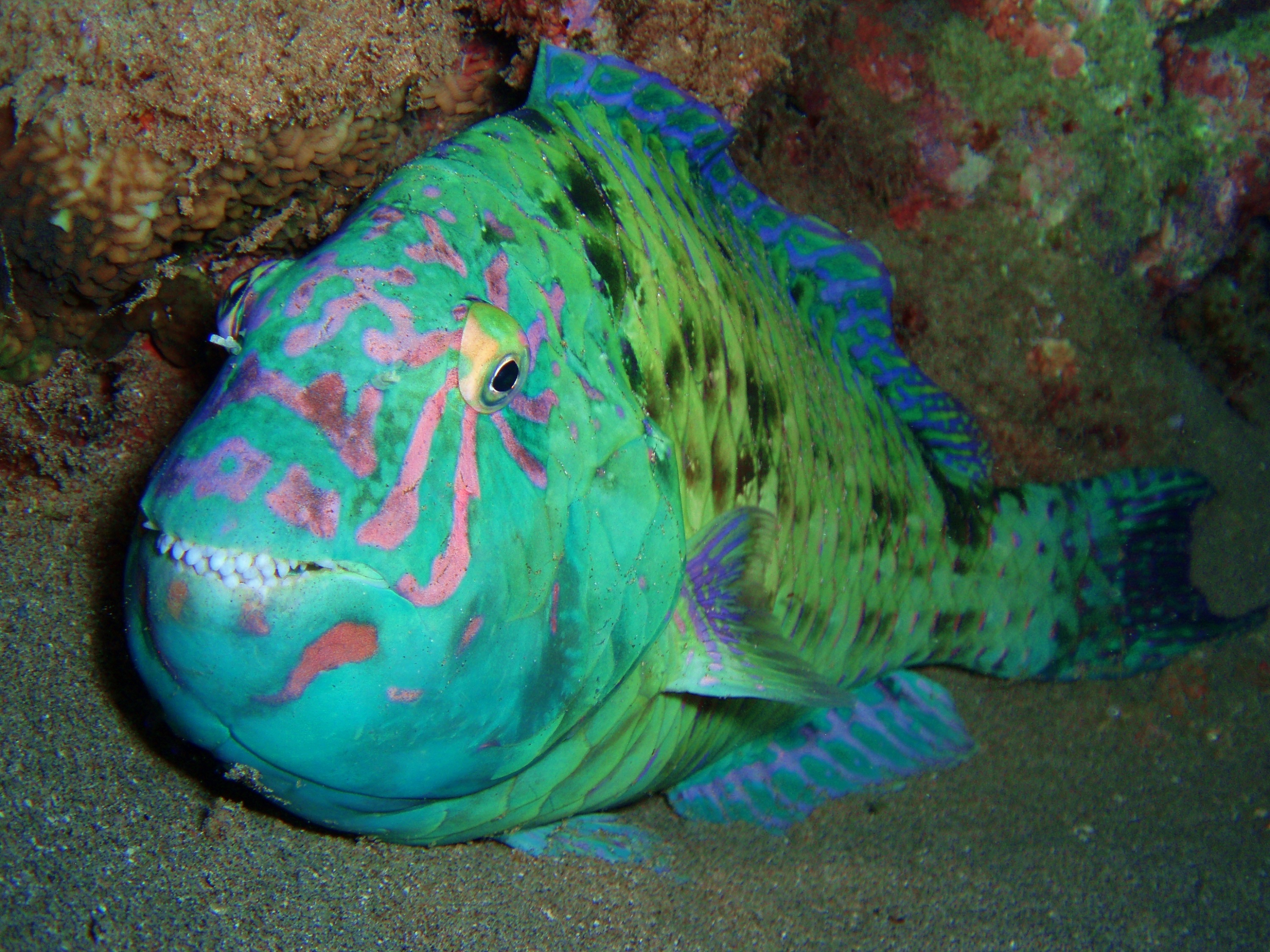 Parrotfish in the bottom wallpaper