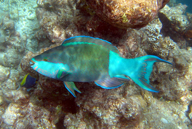 Parrotfish wallpaper