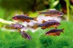 Pearl danio fishes in aquarium