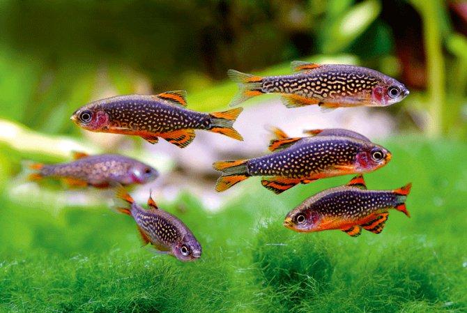Pearl danio fishes in aquarium wallpaper