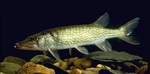 Pickerel in the rocks