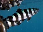 Лоцман (рыбы) плывут