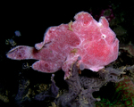 Pink frogfish