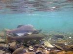 Pink salmon underwater
