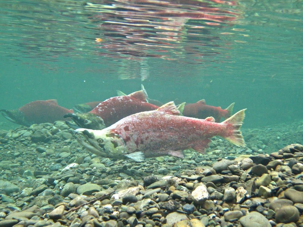Pink salmons swims wallpaper