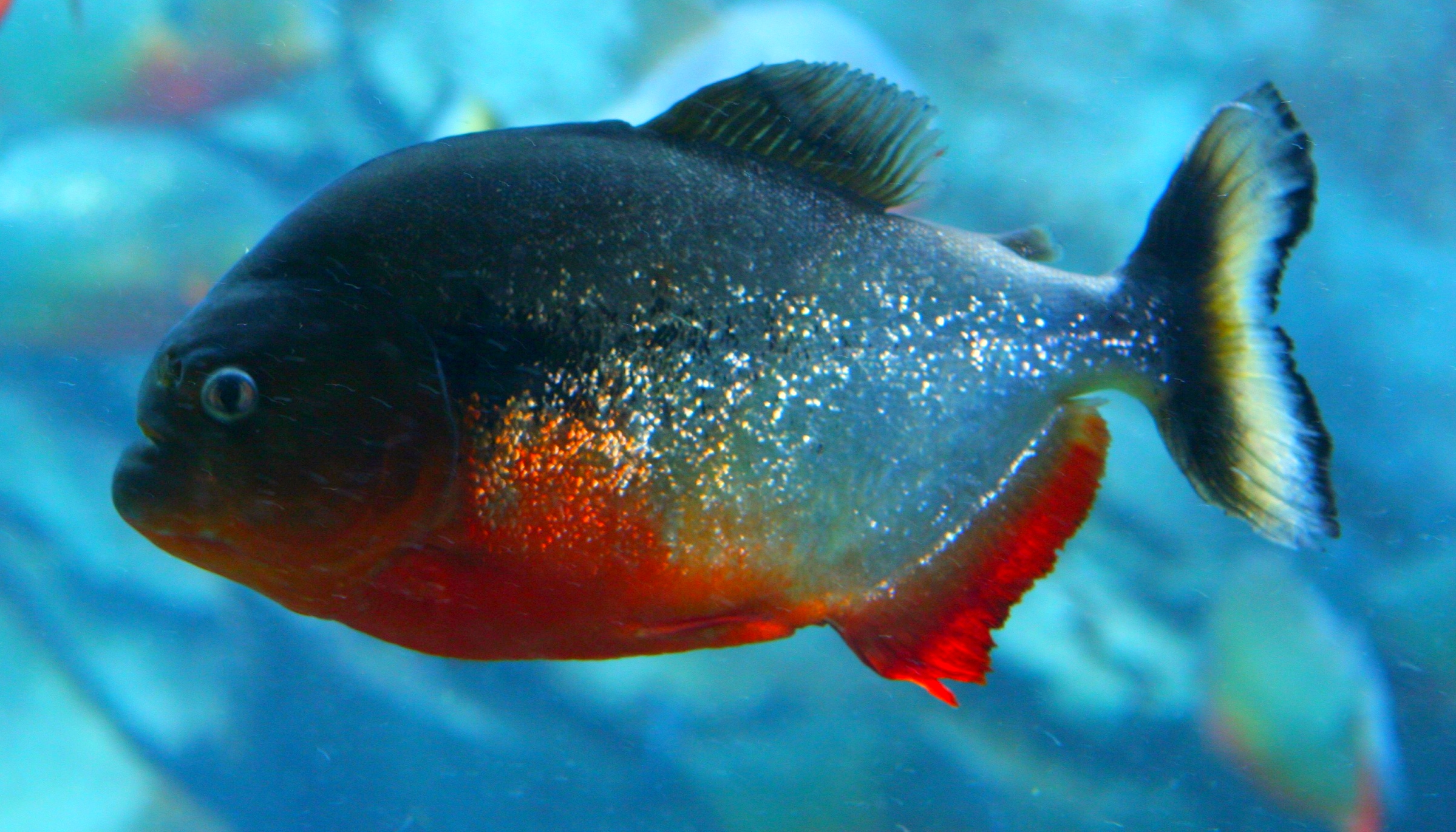 Piranha Fish Photo And Wallpaper Cute Piranha Fish Pictures
