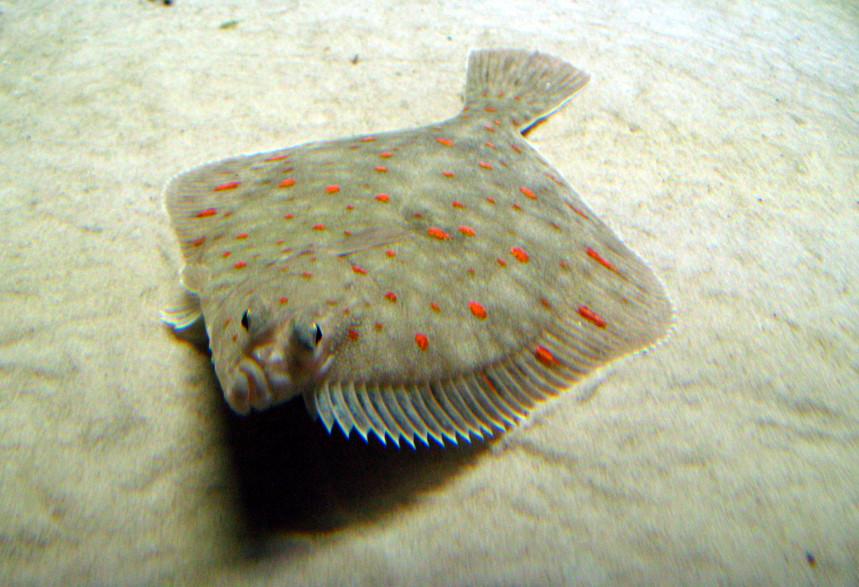 Plaice swims wallpaper