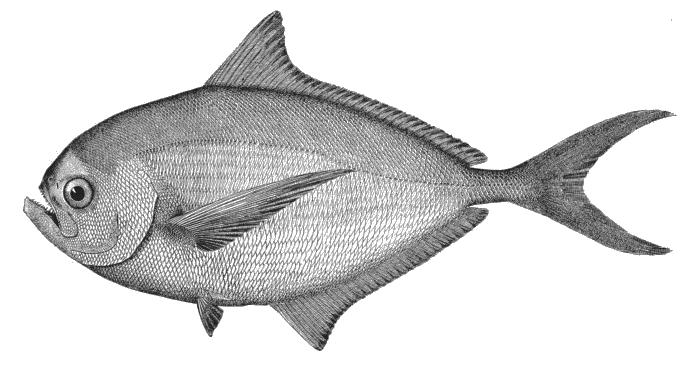 Pomfret wallpaper