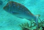 Pomfret underwater