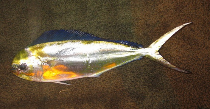 Pompano dolphinfish wallpaper