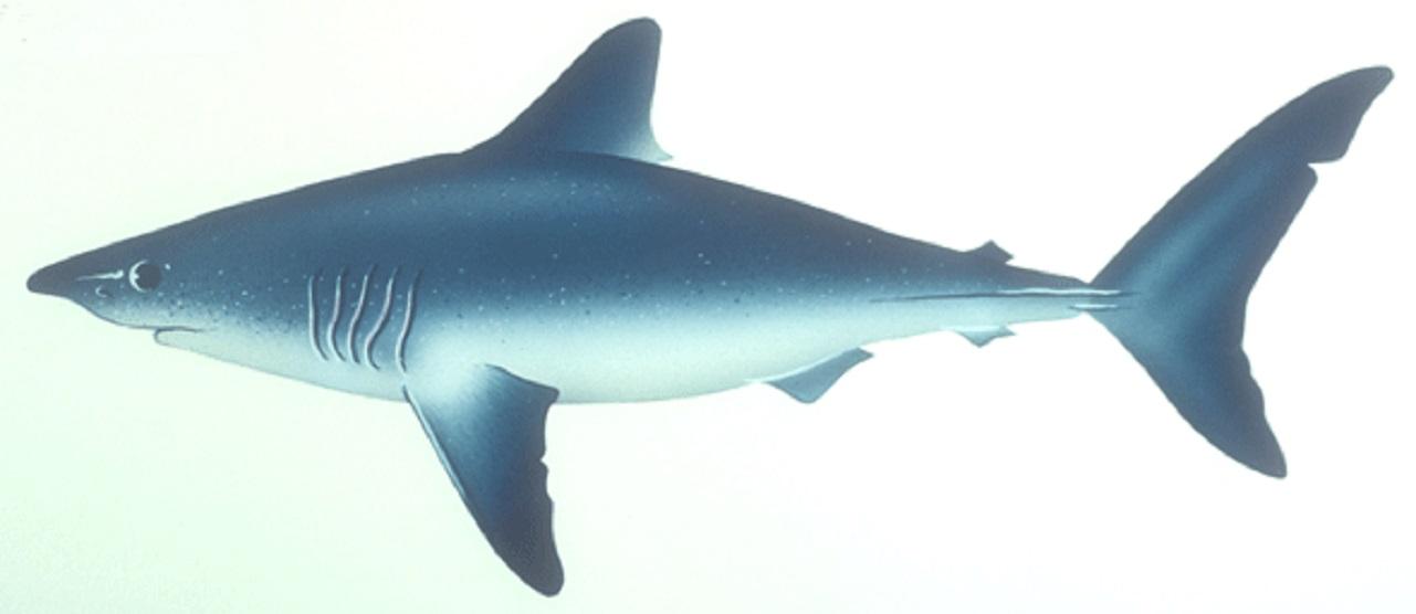 Porbeagle shark wallpaper