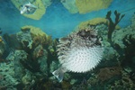 Porcupinefish on the bottom