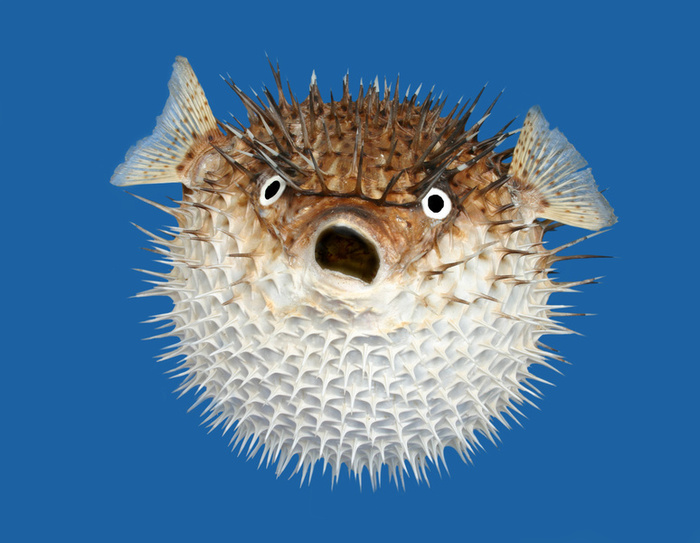 Porcupinefish  wallpaper