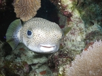 Porcupinefish swims
