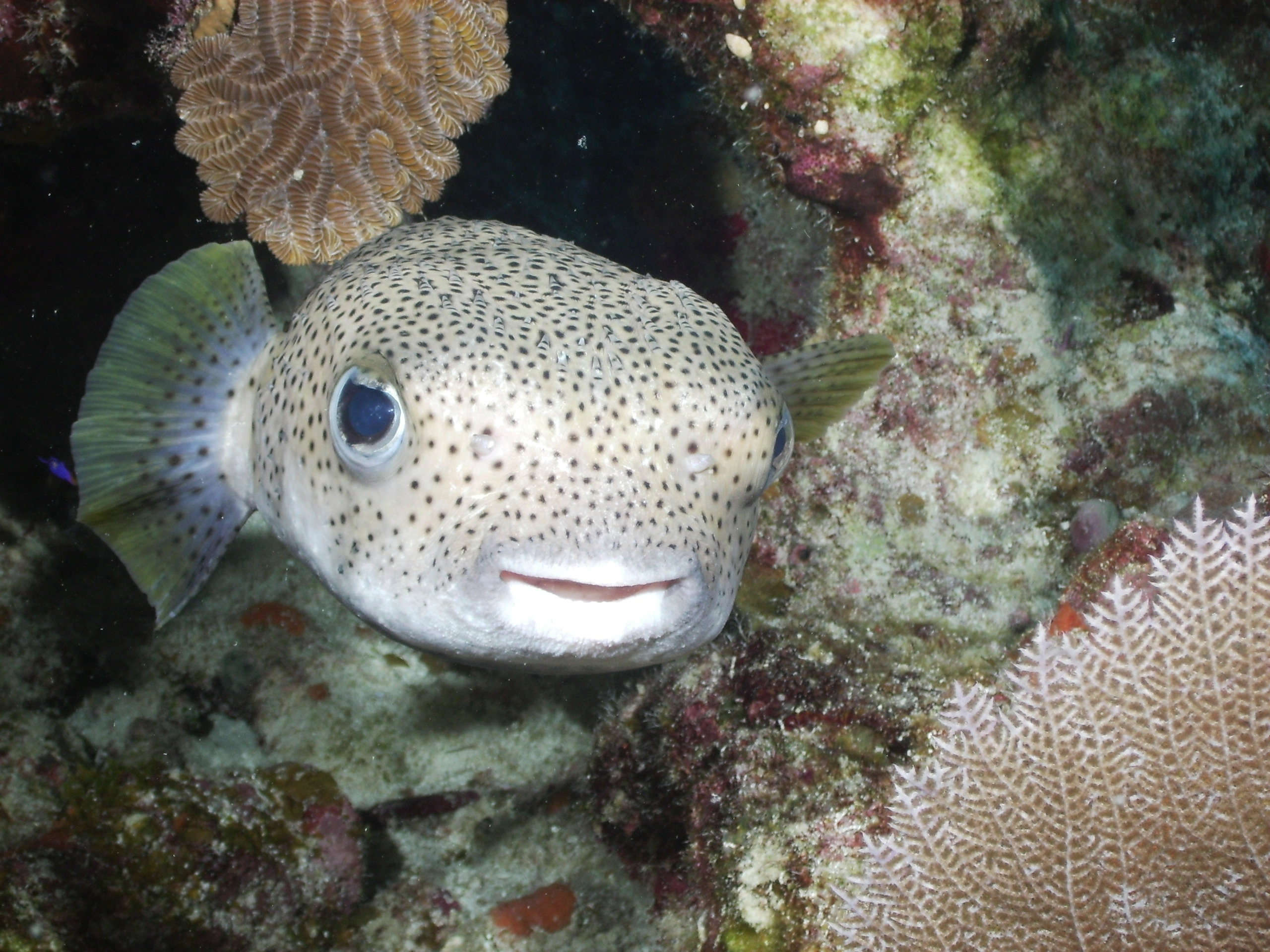 Porcupinefish swims wallpaper