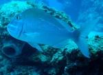 Porgy underwater