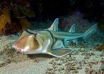 Port Jackson shark swims