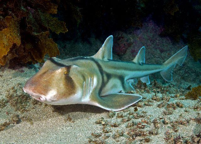 Port Jackson shark swims wallpaper