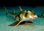 Port Jackson shark in the sand