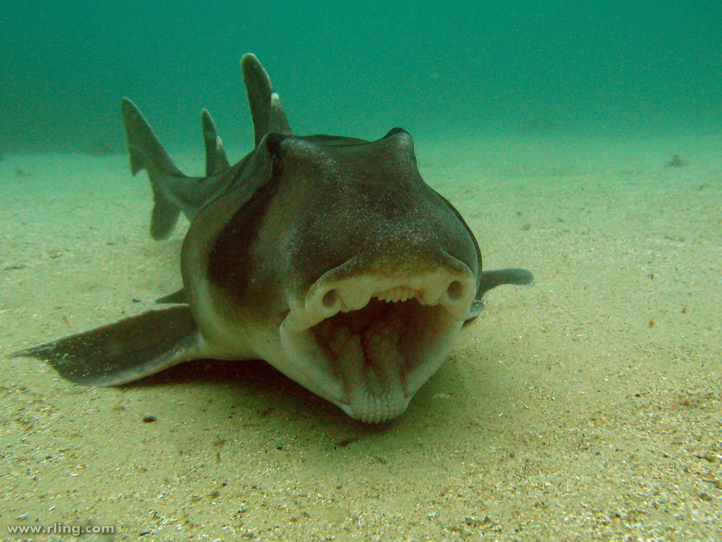 Port Jackson shark on the bottom wallpaper