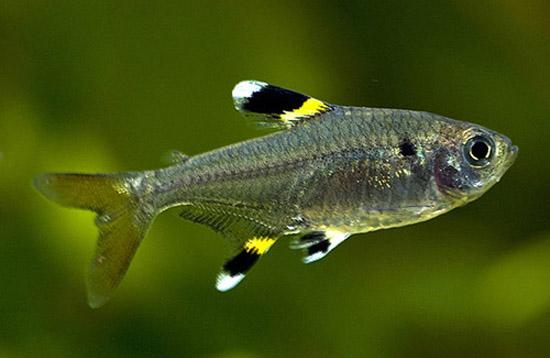 Pristella maxillaris swims wallpaper