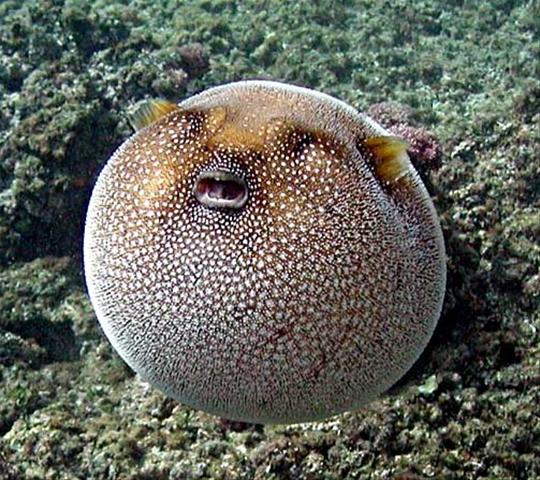 Иглобрюхая рыба на камнях фото