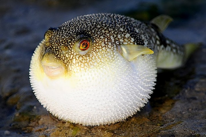 Pufferfish rests wallpaper