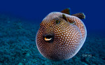 Pufferfish swims