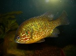 Pumpkinseed in aquarium