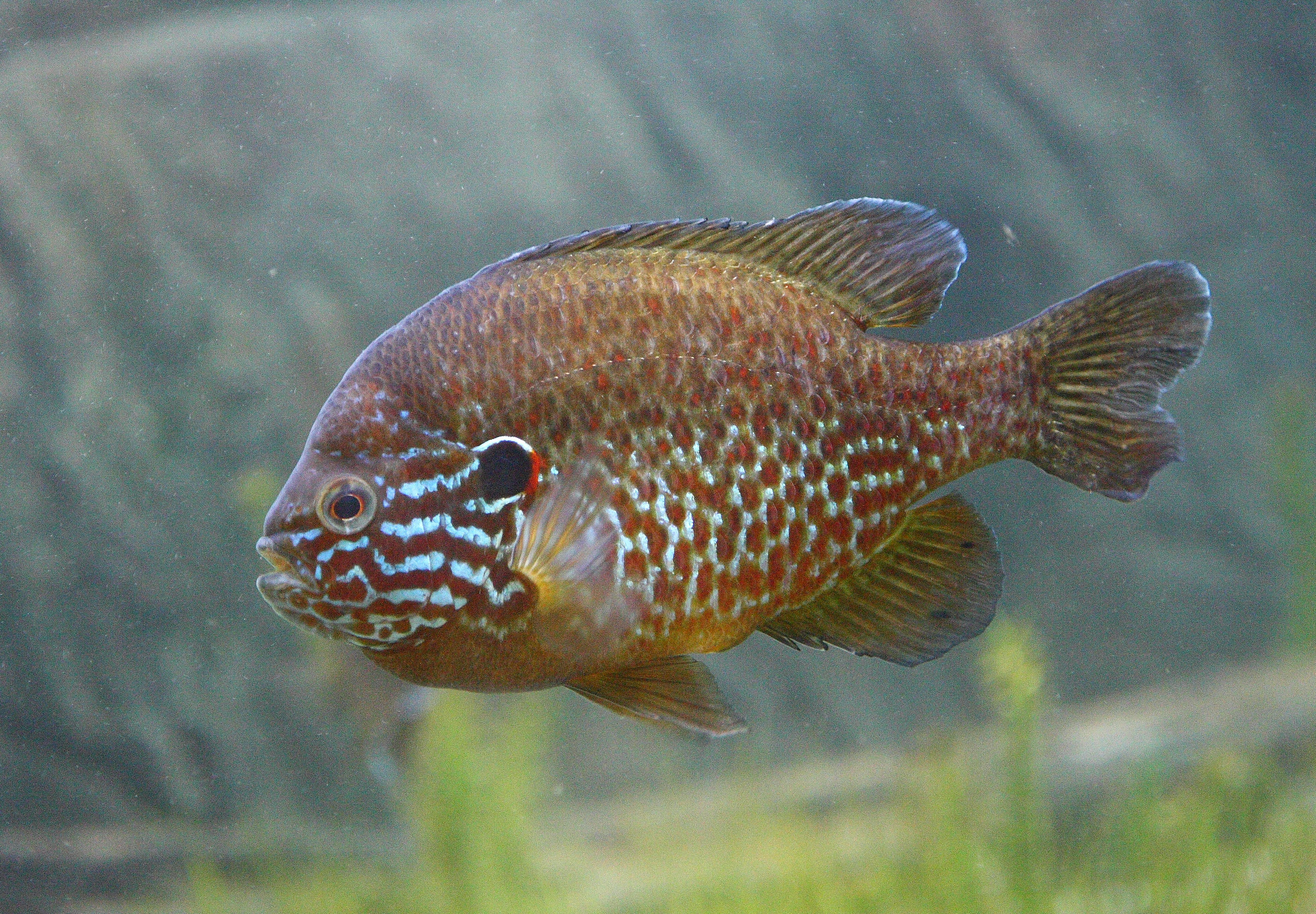 Pumpkinseed wallpaper