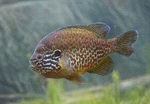 Pumpkinseed swims