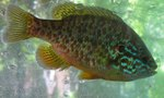 Pumpkinseed underwater