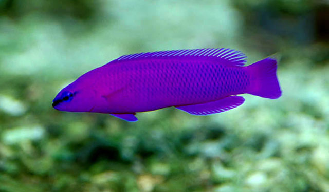 Purple dottyback wallpaper