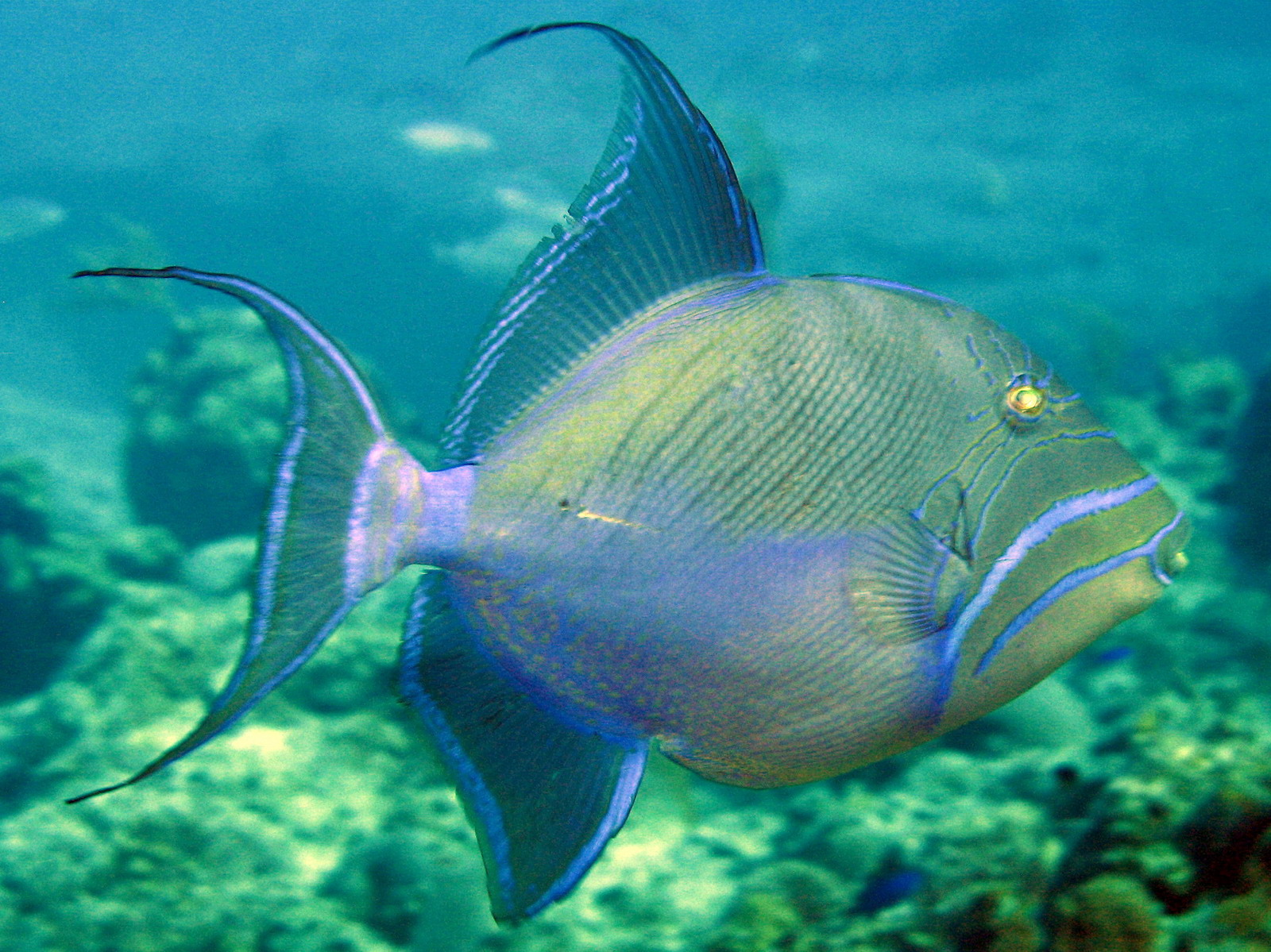 Queen triggerfish on the bottom wallpaper
