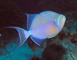 Queen triggerfish swims