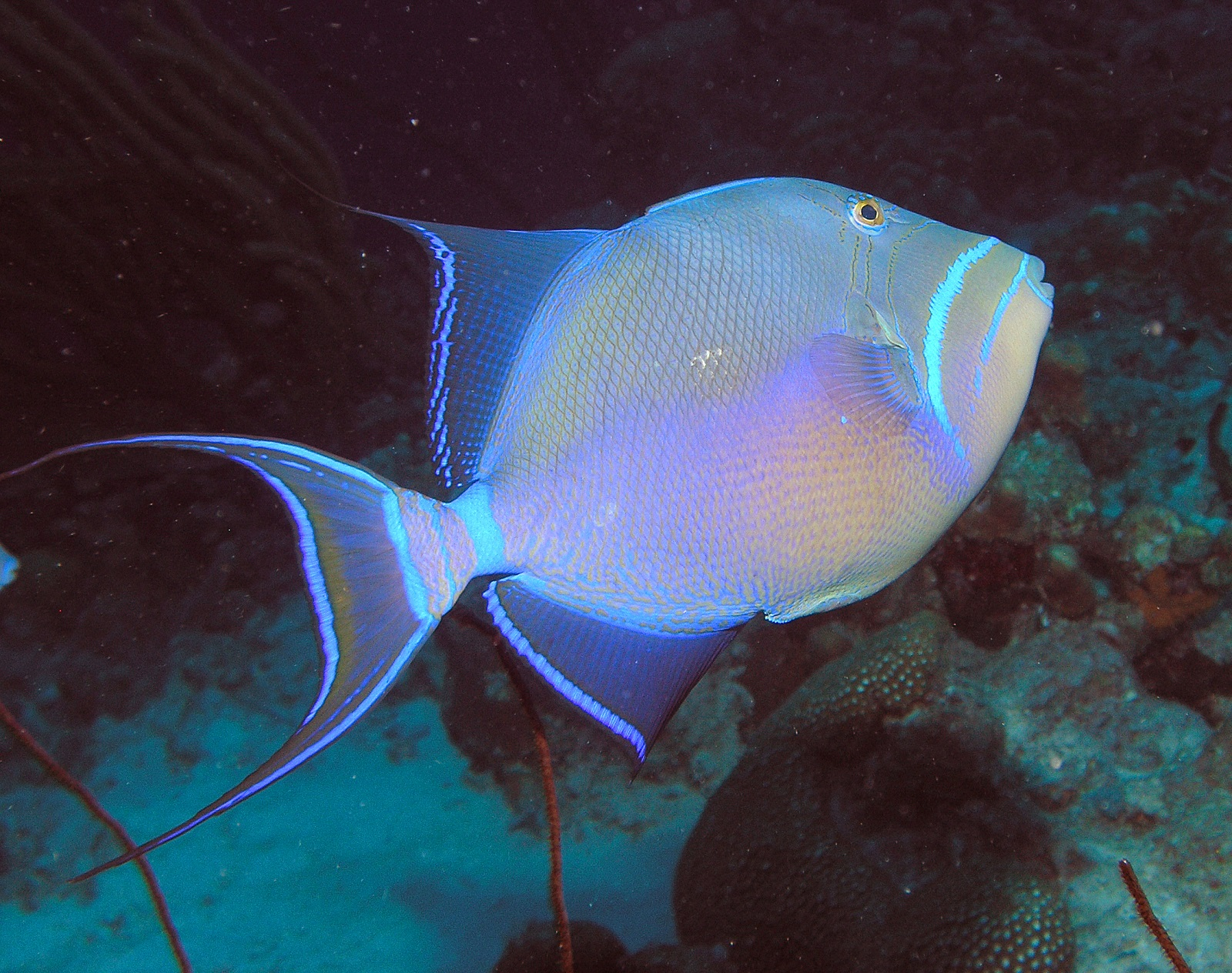 Queen triggerfish swims wallpaper