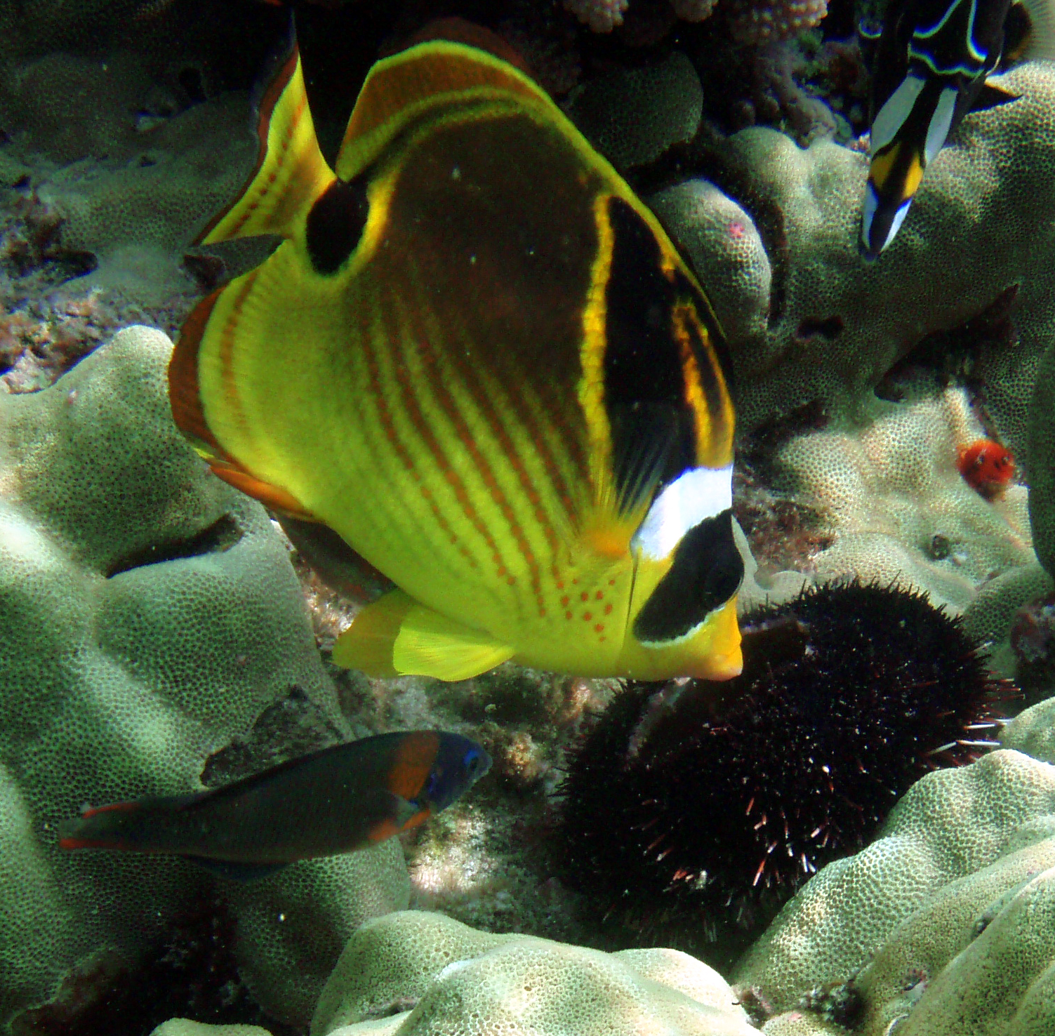 Raccoon butterfly fish wallpaper