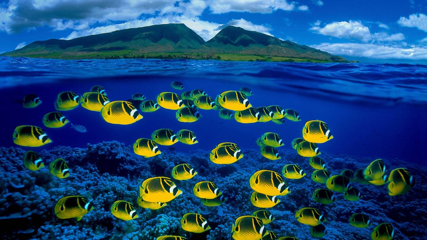 Raccoon butterfly fishes  wallpaper