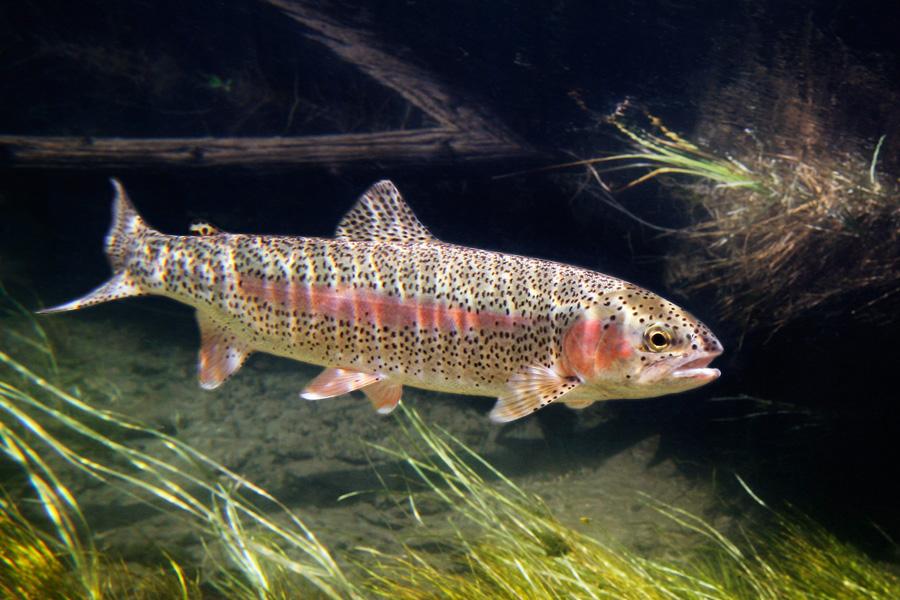 Рыба Микиижа(Ралужная форель) плывет фото